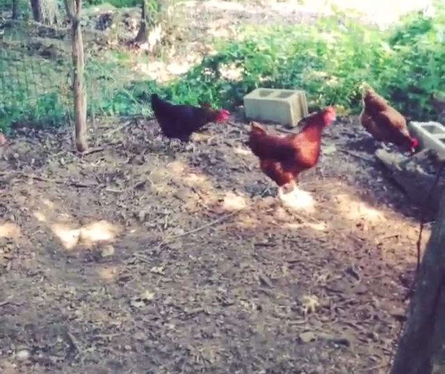 Backyard+Chickens+